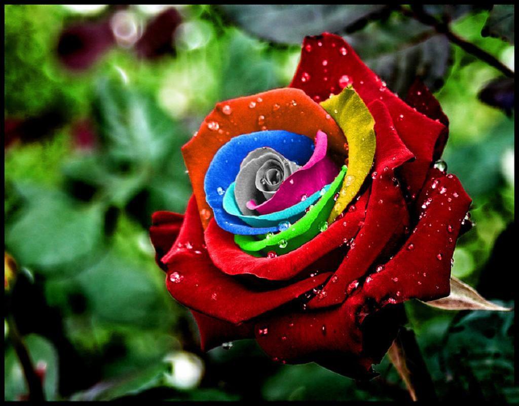 Imágenes de rosas multicolor