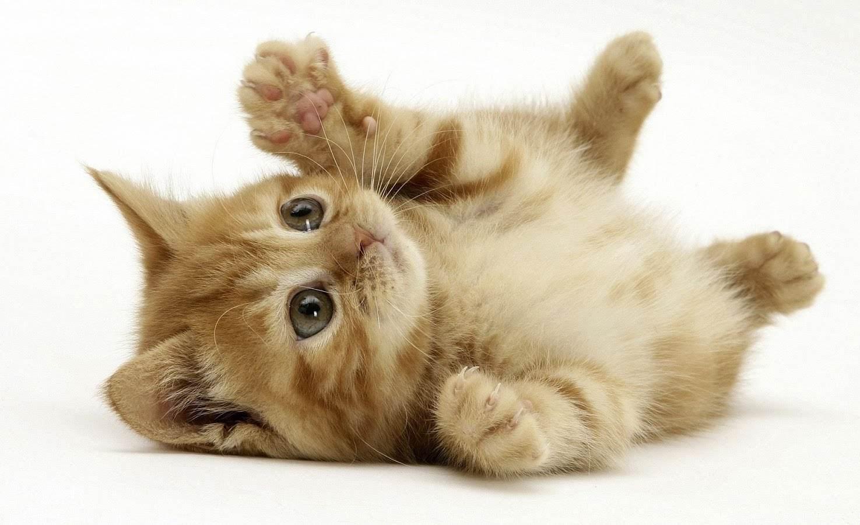 imagenes de gatos tiernos pansa arriba